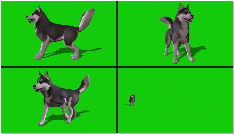 绿屏抠像爱斯基摩犬