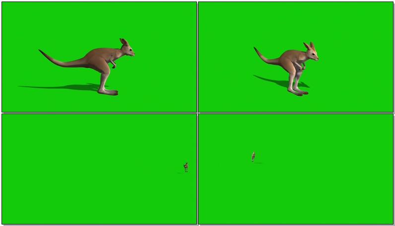 绿屏抠像袋鼠