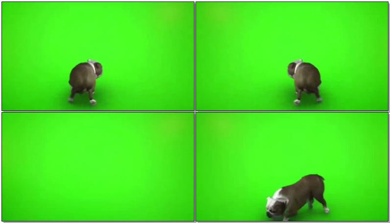 绿屏抠像斗牛犬