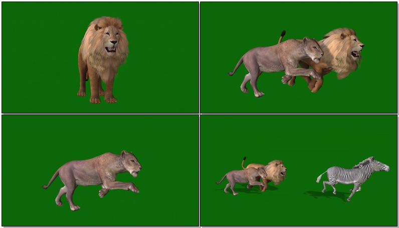 绿屏抠像狮子捕猎