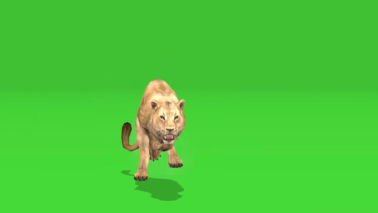 绿屏抠像捕猎的狮子