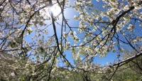 满树的花开