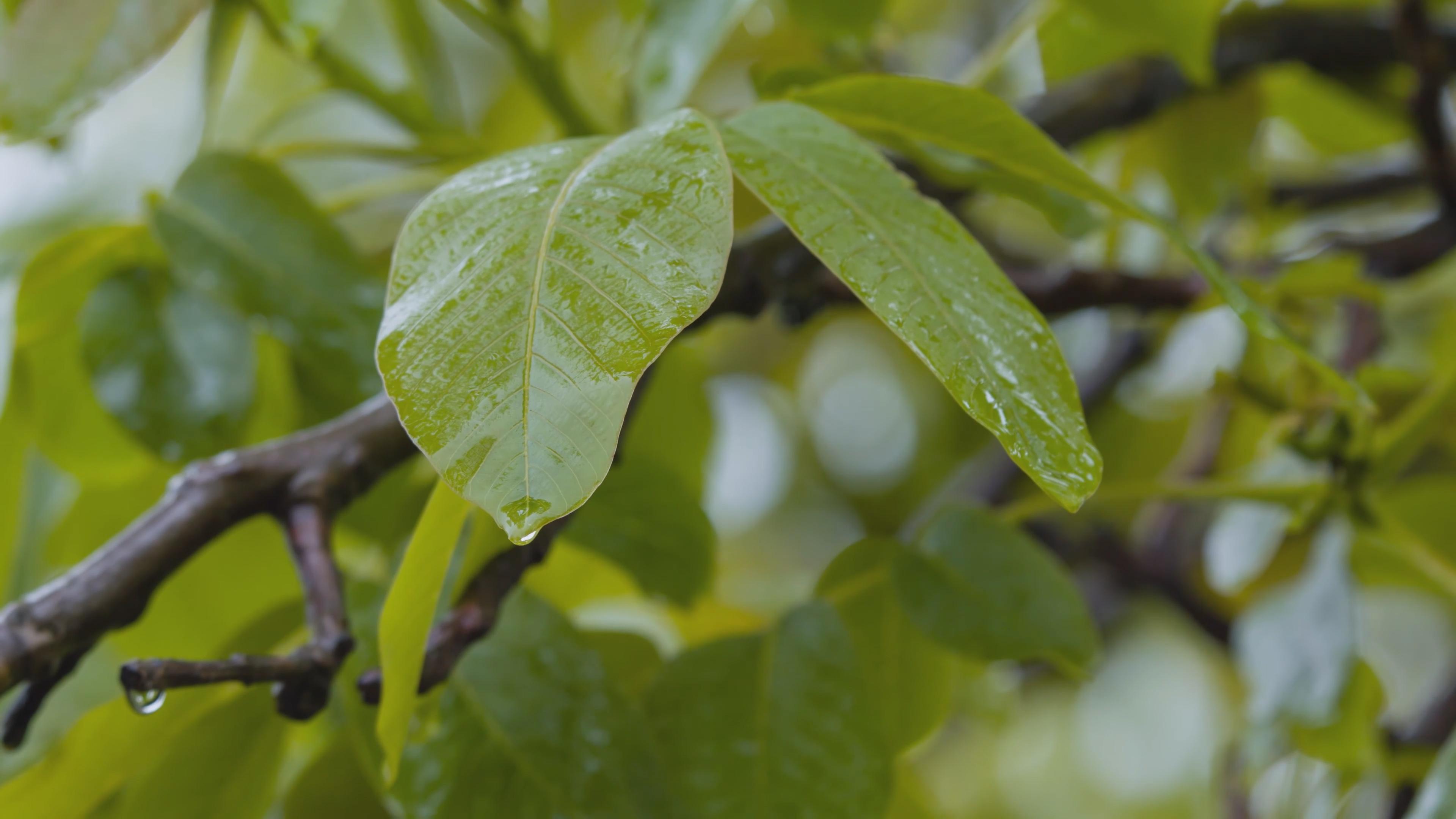 树叶 雨 4K 自然声  水滴 微观摄影  水珠 下雨 自然美景