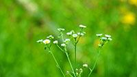 一丛白雏菊