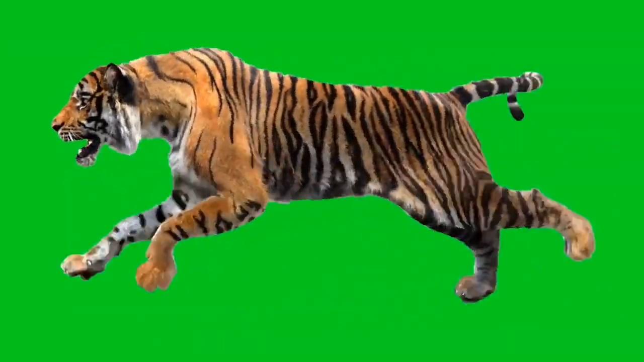 绿屏抠像奔跑的老虎