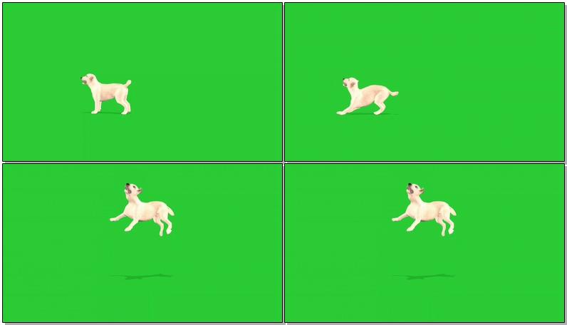 绿屏抠像玩耍的狗狗