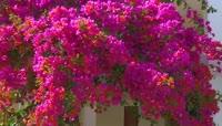 藤蔓上的鲜花视频素材