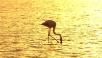 金色夕阳下沼泽中觅食的火烈鸟视频素材