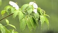 雨水淋湿黄鹂雨打荷花自然风光摄影
