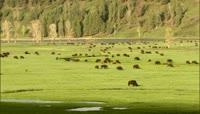 牛群在大草原上吃草的镜头 高清实拍视频素材_1
