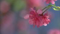 粉红色花朵特写高清实拍视频素材