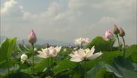 荷塘美景\-荷花特写 Lotus高清实拍视频素材