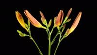 金针花开花 植物快速开花的全过程 黑背景可抠像高清实拍