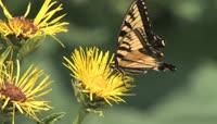 菊花 蝴蝶采粉授粉过程近距离实拍高清视频素材