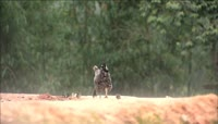 农村鸡鸭走动觅食高清特写素材