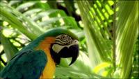漂亮鹦鹉树叶中特写高清实拍视频素材