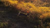 兔子夕阳下草丛奔跑高清实拍视频素材