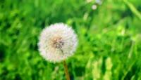 唯美摄影 风中飞舞的蒲公英大自然美景美丽风光风景高清实拍素材
