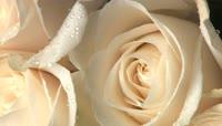 新鲜艳丽红玫瑰白玫瑰近距离移动特写高清实拍 \(2\)