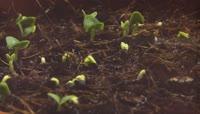 植物发芽快速生长 从地下迅速冒出绿芽镜头特写