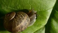 蜗牛在嫩叶上爬行一组高清实拍素材1