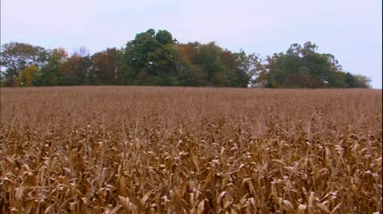凋谢的玉米地和葡萄园田园风光