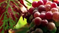 高清实拍葡萄园葡萄苹果熟了美丽田园风光