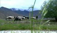 河边放牛奶牛牛群吃草高清实拍视频素材