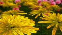 蝴蝶在花上飞舞 高清实拍视频素材