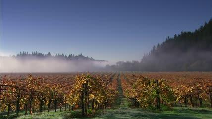 金黄色葡萄园成熟葡萄特写高清实拍素材