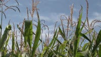 开花结棒的玉米地农业美景