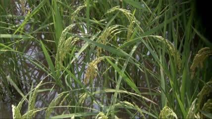 绿田水稻特写 成熟前的水稻稻田高清实拍视频素材