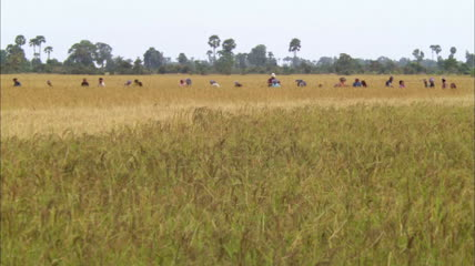 农民收割水稻高清实拍视频素材
