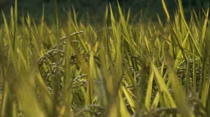 水稻带水珠雨后天晴雨水在上滴落 即将成熟的水稻高清实拍素材