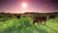 夕阳西下 放牧 牛吃草延时实拍高清视频素材