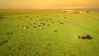 大型养殖业翠绿草地放牛风景 养殖牛高清航拍