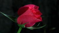 唯美花朵绽放延时拍摄