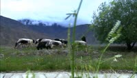 农业放牧实景拍摄