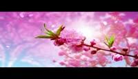 动态桃花背景视频素材