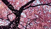 樱花飘落 视频素材模板