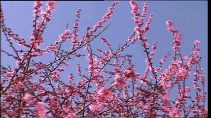 风中的桃花摇动片头