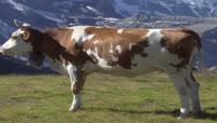 奶牛视频素材