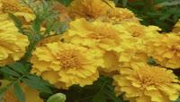 花开遍野,大片向日葵