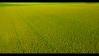 水稻丰收航拍视频素材