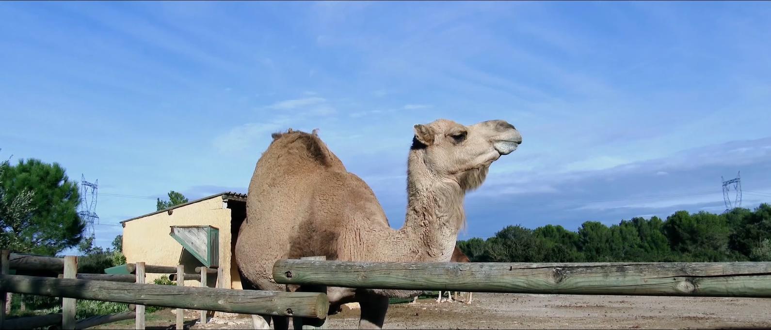 高清 野生动物 自然景色 猫头鹰 豹子 猴子 犀牛 野牛 动物 狮子 长颈鹿 斑马 骆驼 老虎 山羊