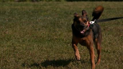 飞奔的狗警犬