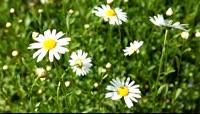 一朵朵白色的小花