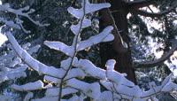 61雪层覆盖下的枝条