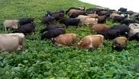 实拍一群牛在吃草