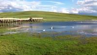 新疆 巴音布鲁克草原的天鹅的歌声